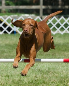 Another Perp, Vizsla, loved by Sheryl Hohle