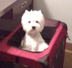 Mariah, West Hightland White Terrier Spoiled by Jack & Donna Smith