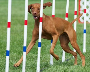 Perp, Vizsla - Loved by Sheryl Hohle