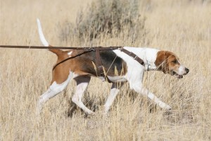 Patty, Harrier, tracking Dog test, Loved by Wendy & Jeff McCleery