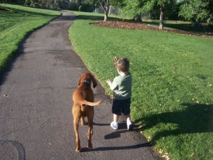 Budha, Vizsla, this is how to walk on a loose leash