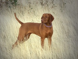 Lila, Vizsla, Loved by Judy Campbell