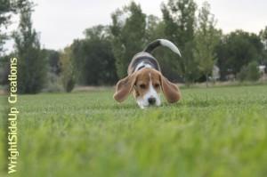 Monroe, Beagle, love by Wendy & Jeff McCleery